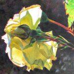 rose blanche a contrejour crayons de couleur sur papier 13X14 Fabienne Monestier redim 800